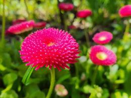 Пролетни цветя - мобилна фотография, заснета със Samsung Galaxy Note 10 Plus на 30 април 2021г.